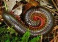 16millipede-spiral-curl.jpg