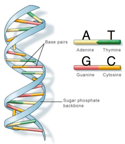 Figure2_DNADoubleHelix